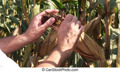 Farmer hand picking corn cob - Male farmer hand picking corn...