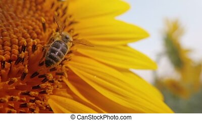 Honey bee pollinating sunflower head, macro shot of insect...