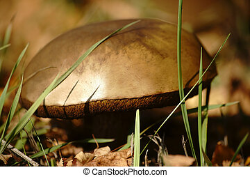 Boletus edulis - The close-up of the fruiting body of a...