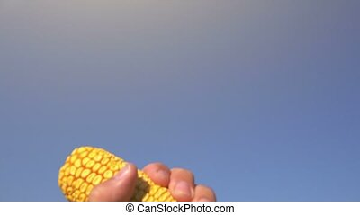 Farmer hand with corn cob - Farmer hand with harvested...