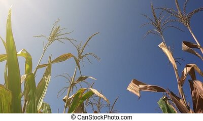 In corn field - Low angle glider shot of green corn plants...