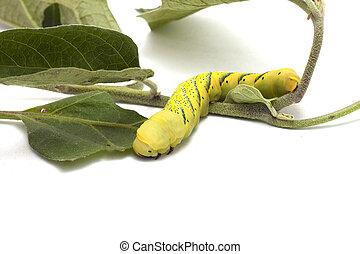 caterpillar to butterfly - caterpillar butterfly larva...