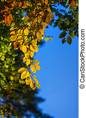 Colorful leaves on trees in autumn on blue sky