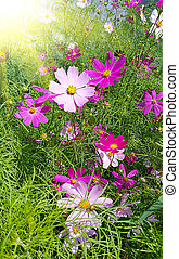 Beautiful Cosmos flowers with bright sunlight