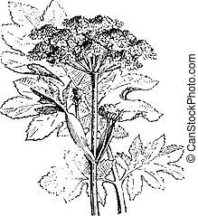 Hogweed, vintage engraving. - Hogweed, vintage engraved...