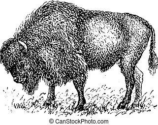 Bison, vintage engraving. - Bison, vintage engraved...