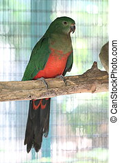 Australian king parrot perching close up