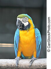 Green winged macaw perching close up