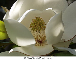 Extreme Close Up of Magnolia Flower With Stamen 3 - Extreme...