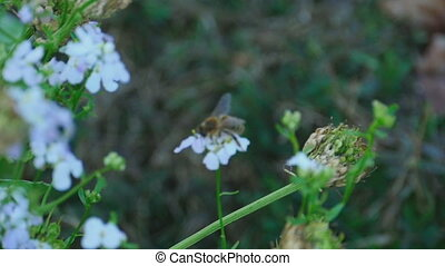 Working bee - A bee collects nectar on the flowers colza