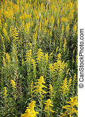 goldenrod field - giant goldenrod field