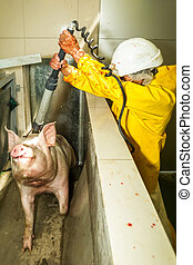 Rare Image Of A Pig Being Electrically Stunned By The...