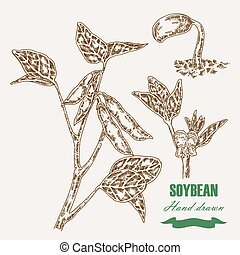 Hand drawn soy plant. Soy twig and soybean. Vector...