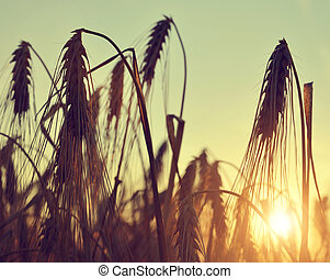 silhouette of a barley field at sunset