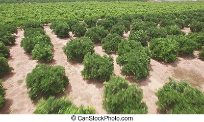 Aerial view of orange tree field, sliding camera - Top view...