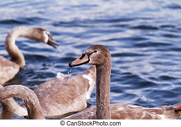 Wild goose - Photo of wild goose in the lake