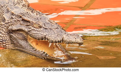 closeup side view of crocodile's head with open jaw in park...