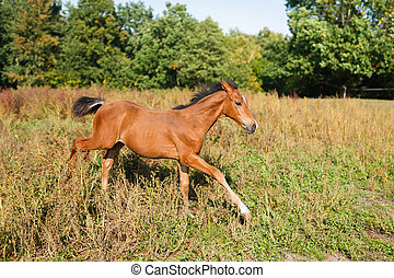 Funny foal running around - Foal running on the meadow at...