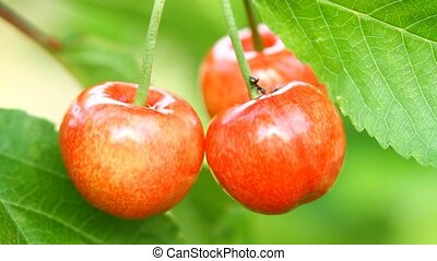Ripe sweet cherry and ant