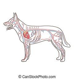 Vascular system of the dog vector illustration - Vascular...
