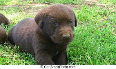 Curious Labrador Retriever Puppy - Curious retriever puppy...