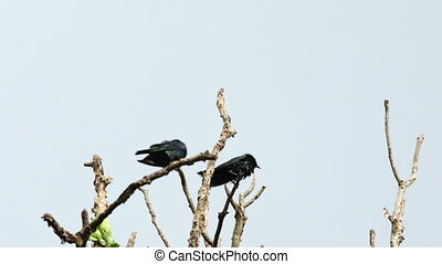Asian Glossy Starling 02 - Asian Glossy Starling birds...