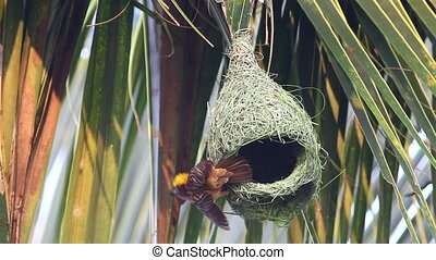 Baya Weaver Nesting 02 - Baya weaver bird building up the...