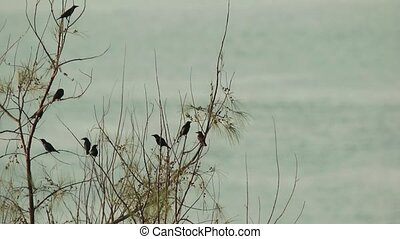 Birds Preening by The Seaside - Asian Glossy Starling birds...