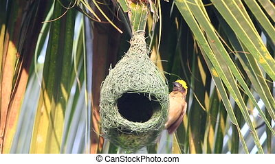 Baya Weaver Nesting - Baya weaver bird building up the new...