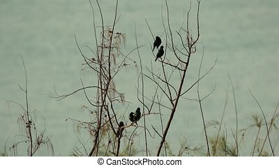 Birds by the seaside - Asian Glossy Starling Bird perching...