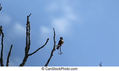 Black thigh Falconet Bird 1 - Black thigh Falconet Bird...