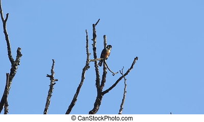 Black thigh Falconet Bird 3 - Black thigh Falconet Bird...
