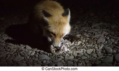 Fox - red fox came at night to fishermen
