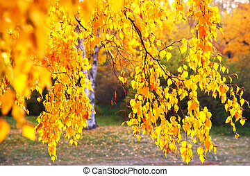Autumn birch tree - Birch colorful leaves burning with the...