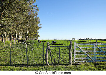 Cattle in a paddock, in the Uruguayan pampas Carmelo, Rio...