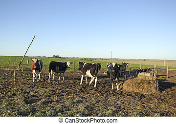 Beef industry in rural Latin America. The beef cattle...