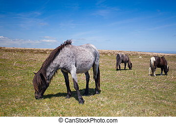Wild Exmoor Ponies on the summer pasture,Great Britain -...