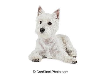 West Highland White Terrier puppy dog - West Highland White...