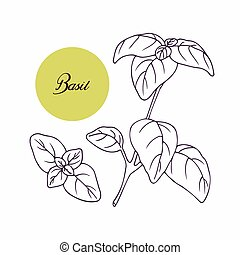 Hand drawn basil branch with leves isolated on white. Hand...