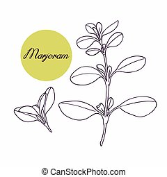 Hand drawn marjoram branch with leves isolated on white....