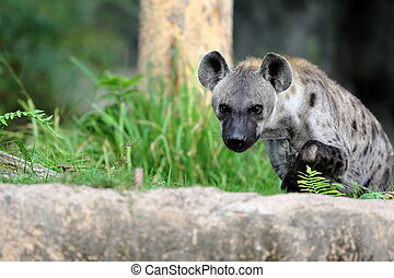 Spotted hyena standing in the park