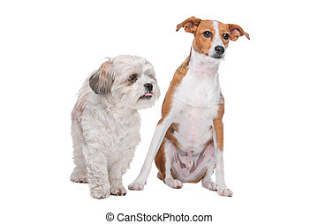 two mixed breed dogs in front of a white background - mix...