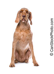 Wirehaired Vizsla dog in front of a white background