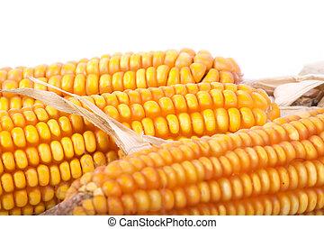 An ear of corn isolated