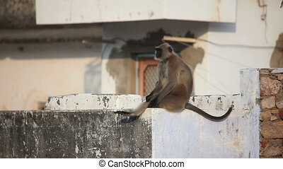 Gray langur sitting on the roof, Pushkar, India