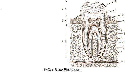 illustration of tooth diagram - Vector engraving...