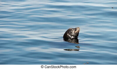 Sea Lion Head Out Of Water Monterey - Sea Lion In Bay Head...