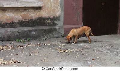 Homeless dog in the street - Redhead large stray dog...