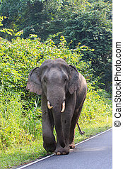 young female wild elephant in khao yai national park...