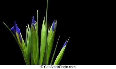 Purple Iris Flower Time-lapse - Time-lapse of purple Iris...